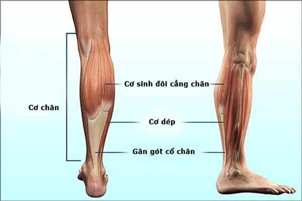 Cấu tạo cơ chân 1